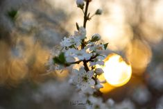 Vintage Lens shot of Cherry Blossoms in Spring during sunset Cherry Blossoms, Lens, Celestial, Photo And Video, Sunset, Spring, Flowers, Photography, Outdoor