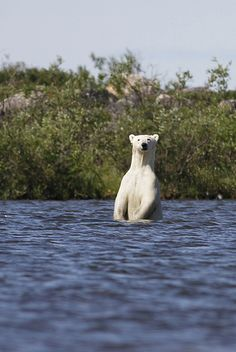 This polar bear was photographed near Churchill in July, after melting summer ice forced him ashore.