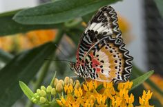 Butterfly wings are covered in many tiny scales that overlap like shingles on a roof. Scales come in many different shapes and in the past, have been used to classify butterflies. Pictured:  Leopard Lacewing; Cethosia cyane (photo by Don Williamson Photography)