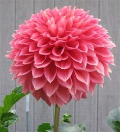 Dahlia 'Country Rose'