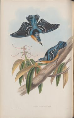 two blue/black birds, one in flight, above the other resting on a branch: drawn by John Gould