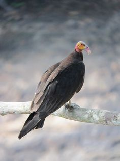 Cathartes burrovianus / Guala sabanera / Lesser Yellow-headed Vulture, Colombia