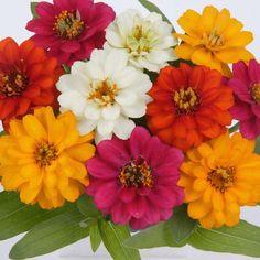 Zinnia Profusion Double Mix flower garden seeds