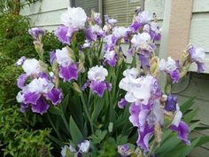 My Life and Garden: Flowers....showing unbridled enthusiasm...Iris