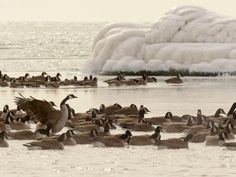 Canadian geese in the ice steam produced by the warm