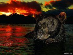 Bear at sundown - MemePix