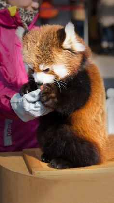 Adorable. Red. Panda.