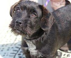 2/19/17 Yardley, PA - Standard Schnauzer/Labrador Retriever Mix. Meet Everly B Sweet baby, a dog for adoption. http://www.adoptapet.com/pet/17615204-yardley-pennsylvania-standard-schnauzer-mix