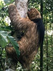 preguiça de coleira - Pesquisa Google