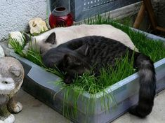 Cat Care Indoors DIY Cat Grass - Make this awesome indoor grass lounge for your cat and watch them be happier and healthier! Cat Grass, Grass For Cats, Gato Gif, Cat Hacks, Gatos Cats, Cat Garden, Balcony Garden, Indoor Garden, Cat Enclosure