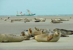 Borkum (Niedersachsen) - Seals on the beach / Robben am Strand / Phoques sur la plage