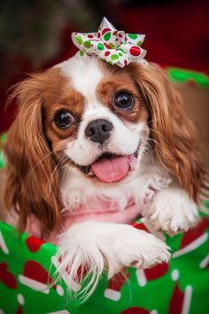 Marley is a year old Cavalier King Charles Spaniel and loves to play with her sister and snuggle!