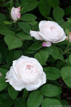 'Merveille de Lyon'  Hybrid Perpetual. [Baronne de Rothschilde x Safrano ] France. 1882.  White, pink shading. No fragrance.