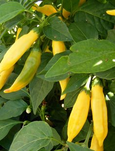 Aji Limon, hot pepper with lemon tone. Must be interesting!