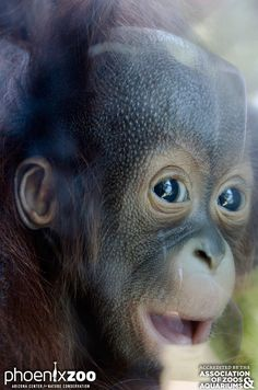 The Phoenix Zoo is home to an adorable new Bornean Orangutan. The zoo is asking for the public's help in naming the newborn. Find out more: http://www.zooborns.com/zooborns/2014/11/whats-in-a-name-help-new-baby-find-out.html