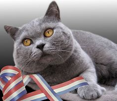 My Next Cat Will Definitely Be A British Shorthair--Also Known As A Blue Cat. Look At Those Gorgeous Eyes!!!