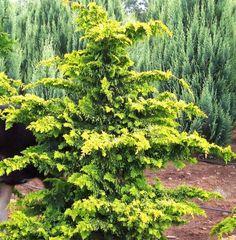 Just got this for my front garden. Yellowy green....so pretty (Fernspray Gold Hinoki Cypress)