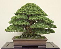 Kokonoe Japanese White Pine