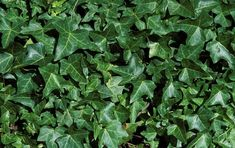 Though it is thought to be a beautiful plant by many (myself included), English Ivy- Hedera helix is a very invasive plant in our area an. Plant Information, Hedera Helix, Hedera, Invasive Plants, Herbs, Plants, Edible Garden, English Ivy, Garden Plants