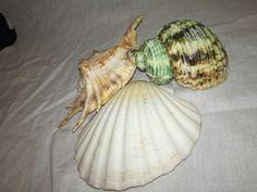 Moth, Insects, Shells, Animals, Seashells, Animales, Animaux, Conchas De Mar, Sea Shells