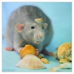Aegir 11 - Fancy rat by DianePhotos.deviantart.com on @DeviantArt