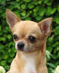 Chihuahua Club Click to shop adorable dog accessories for chihuahuas.