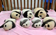 7 sleeping baby pandas