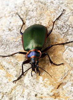 Calosoma scrutator - the fiery searcher (Carabidae). This colorful beetle is among North America's most attractive native insects.