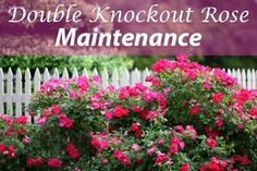 The complete care guide for Double Knockout Roses, including how to plant, how to maintain them and how to prune.