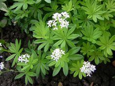Asperula Odorata 'Sweet Woodruff' Foliage forms parasol-like whorls. White flowers in May. Good ground cover for shade, even where only moss will grow. Foot traffic. Deer resistant. Dried foliage is fragrant and has been used to flavor wines.