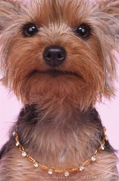 It's a Yorkie Life Photo Animaliere, Photo D Art, I Love Dogs, Puppy Love, Cute Dogs, Puppies And Kitties, Yorkie Puppy, Yorkie Haircuts, Baby Animals