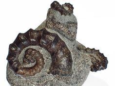 アイノセラス カムイ Ainoceras kamuy Ammonite アンモナイト  Size80mm 40mm 30mm 計3個付きの岩 産地 北海道 上貫気別産   Hokkaido, JAPAN  Heteromorph ammonite