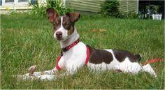 Feist Pictures, Rat Terrier Pics, 3