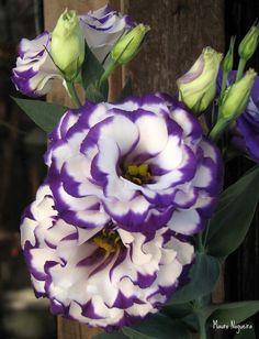 Purple and White Lisianthus