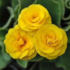 Primula auricula 'Apollo' - Buy Online at Annie's Annuals & Perennials