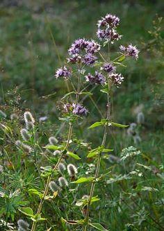 Mäkimeirami, Origanum vulgare - Kukkakasvit - LuontoPortti