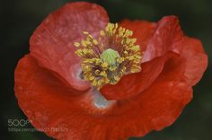 Red poppy by filsaahd #nature #photooftheday #amazing #picoftheday