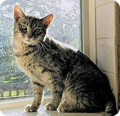 Manchester, MO - Domestic Shorthair. Meet Luka, a cat for adoption. http://www.adoptapet.com/pet/14662988-manchester-missouri-cat