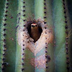 A Gila Woodpecker at home in a Saguaro. Seen on my neighborhood photo walk last night.