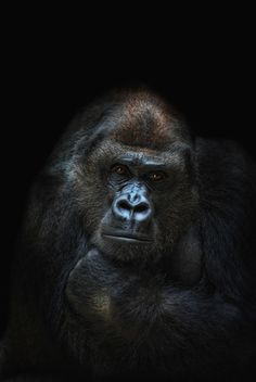 Female Gorilla - so beautiful. There's so few of these amazing mountain gorillas left... Let's do something about it !!!!!!