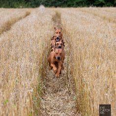 Ridgebacks in the fields