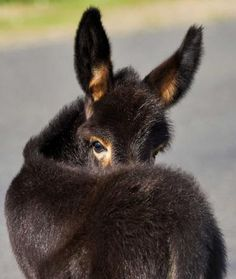 Cute little donkey looking back at you. Courtesy: Forever Home Donkey Rescue. Benson, Arizona (USA).