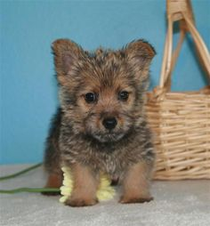 Perros Norwich Terrier