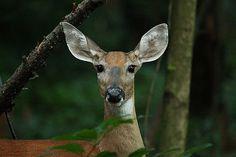 I'm All Ears............. | Flickr - Photo Sharing! Kangaroo, Giraffe, Ears, Animales, Kangaroos, Giraffes, Ear