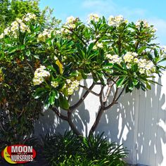 Flowering trees add beauty and color to all landscape styles. Moon Valley Nurseries grows hundreds of varieties of flowering trees in multiple colors and styles. Tropical Garden Design, Tropical Backyard, Tropical Landscaping, Garden Landscape Design, Landscaping Plants, Outdoor Landscaping, Outdoor Plants, Tropical Plants, Plumeria Tree
