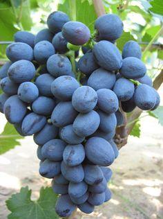 Описание сорта винограда Забава Fruit, Aviation, Aircraft