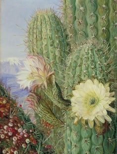 """remnev: """" A Chilean Cactus in Flower and Its Leafless Parasite in Fruit by Marianne North """" Kew Gardens, Botanical Drawings, Botanical Art, Plant Illustration, Botanical Illustration, Beautiful Paintings Of Flowers, Marianne North, Cactus Pictures, Hope Art"""