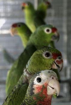 Amazon Parrots.