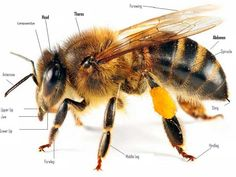 Image result for tasmanian honey for sale around the world