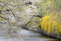 Cherry Blossoms on the Canal